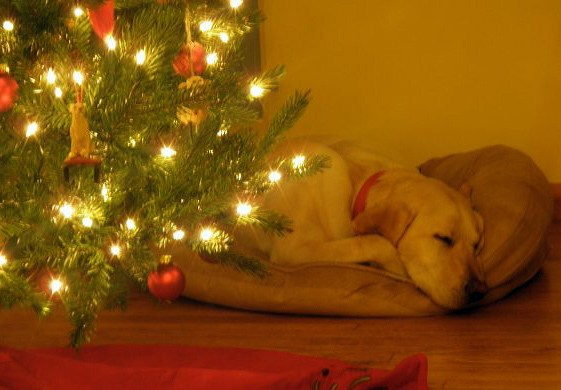 dog asleep under the christmas tree