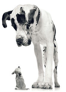 small chihuahua looking up at a huge great dane